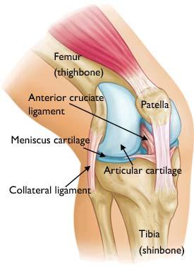 Anatomy behind knee